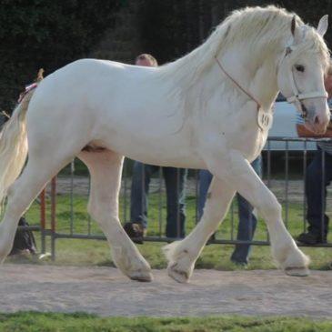 le cheval de trait Boulonnais